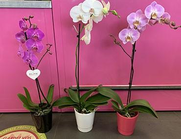 Orchidée Phalaenopsis 1 tige
